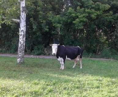 В Харькове по улице бегала корова: видео