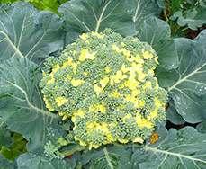 Защитные свойства брокколи