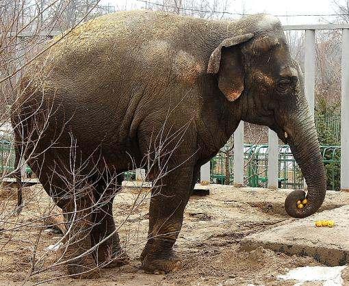 В Харьковском зоопарке слон не принял именинный торт: видео