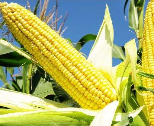 Украина увеличила импорт семян кукурузы в 37 раз
