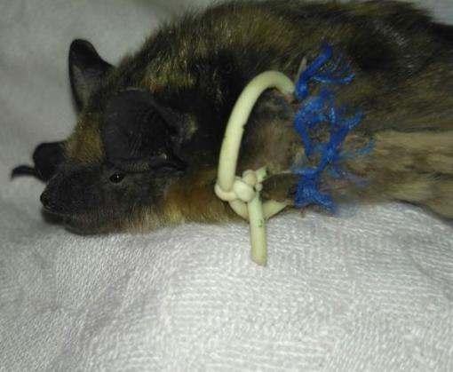 В Харькове спасли травмированную летучую мышь из Одессы
