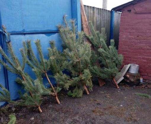 Под Харьковом рецидивист вырубил новогодние елки
