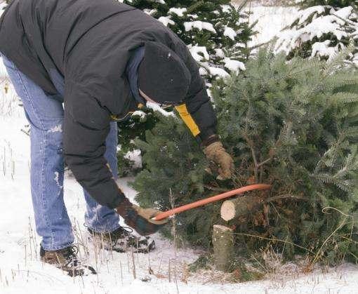 «Черные лесорубы» заплатили за елки 125 тысяч