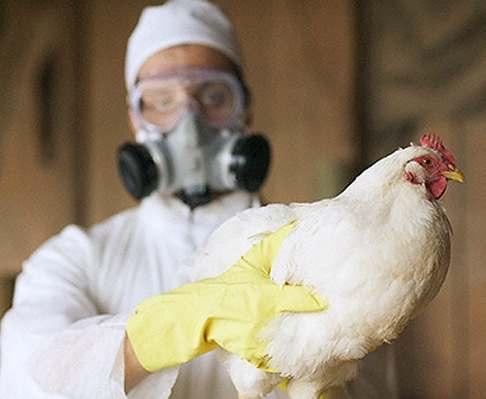 В Украине снова зафиксирован птичий грипп