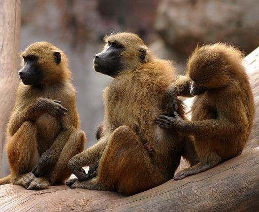 Ученые обнаружили говорящих обезьян