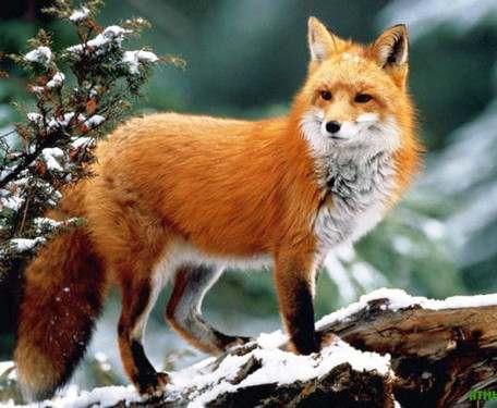 В Харьковской области развелось слишком много лисиц