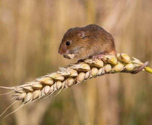 Австралия опасается нашествия мышей