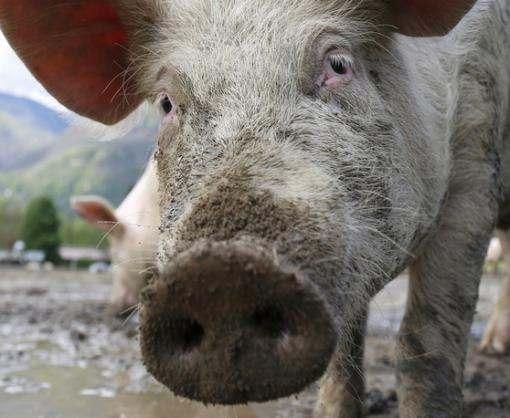 На харьковские прилавки может попасть зараженная свинина