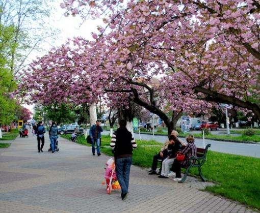 В Харькове может появиться аллея японских сакур