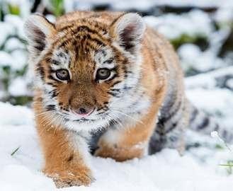Тигр Елисей отметит новоселье с хвостатой зазнобой