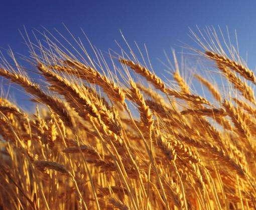 США заинтересовались украинской пшеницей