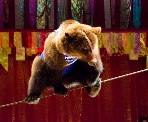 В Украине запускают программу реабилитации бурых медведей, спасенных из цирков и частных зоопарков
