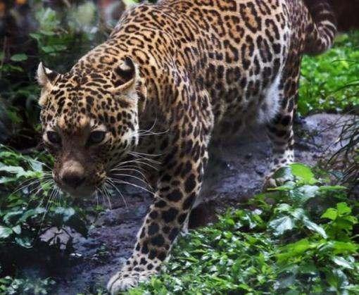 На острове Ява обнаружили «воскресших» леопардов