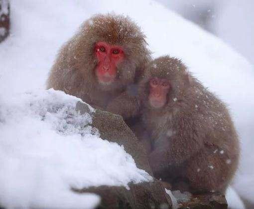 В японском зоопарке усыпили более 50 снежных макак из-за обнаружения чужеродных генов
