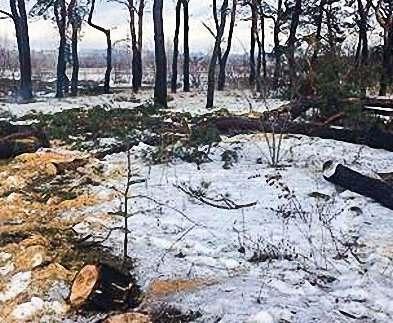 В Харькове незаконно спилили полсотни сосен