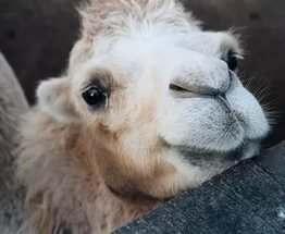 Харьковчане выбирают имя для новорожденного верблюжонка