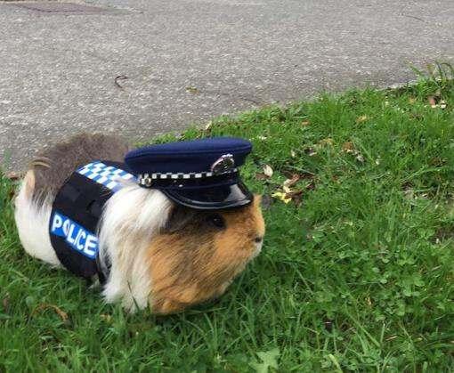 Морская свинка стала констеблем полиции в Новой Зеландии