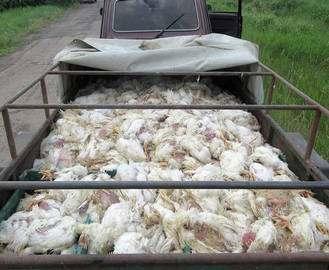 В Харьковской области украли прицеп курятины