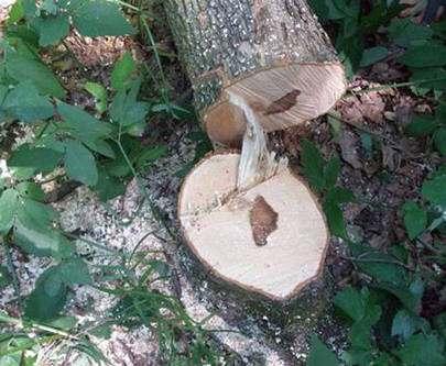 В Гомольшанских лесах поймали дровосека