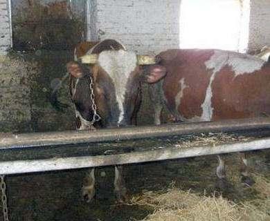 Трагедия под Харьковом: бык затоптал пастуха