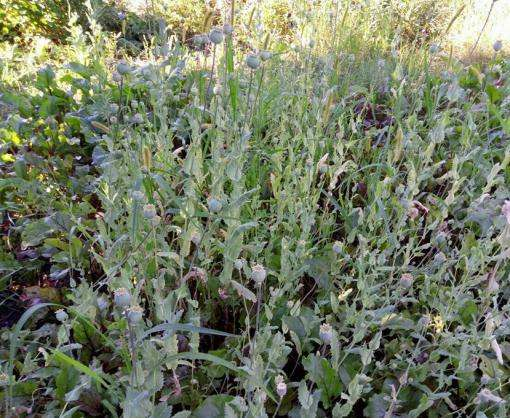 В Харькове найдена плантация конопли