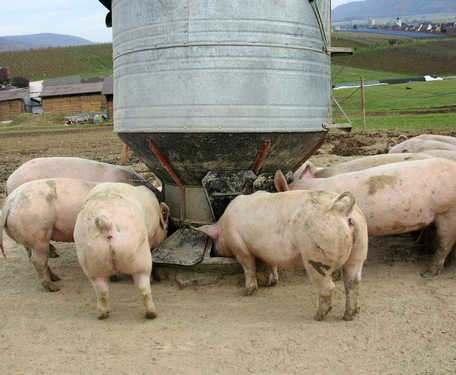 В Харьковской области уменьшилось поголовье свиней