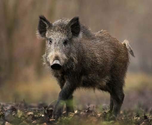 В зоне АТО начали патрулировать боевые свиньи: видео
