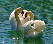 Дикие лебеди облюбовали Петринковское озеро: видео