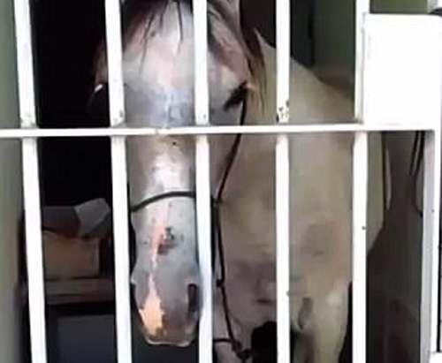 Закон один для всех: в Бразилии лошадь посадили в тюрьму (видео)