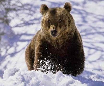В России медведь украл у охотника два ружья и сбежал