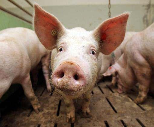 Под Харьковом обнаружены чумные свиньи
