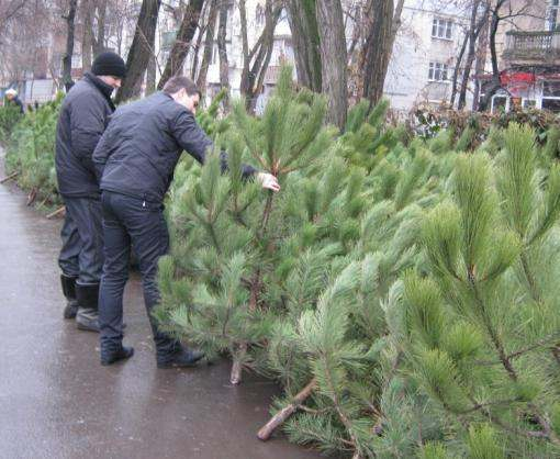 В Украине начали продавать елки