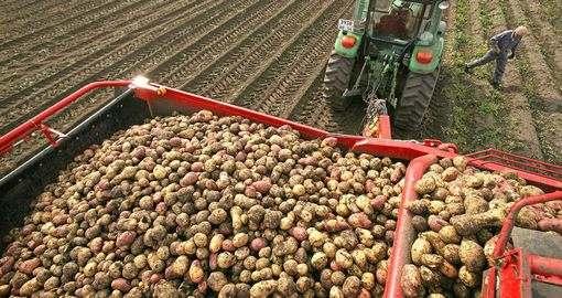 В этом году дешевой картошки не будет