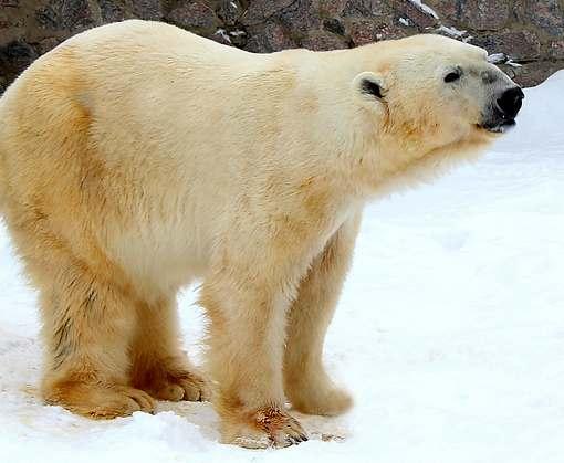 В Харькове живет медведь-рекордсмен