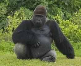 В американском зоопарке горилла пристрастилась к йоге: видео