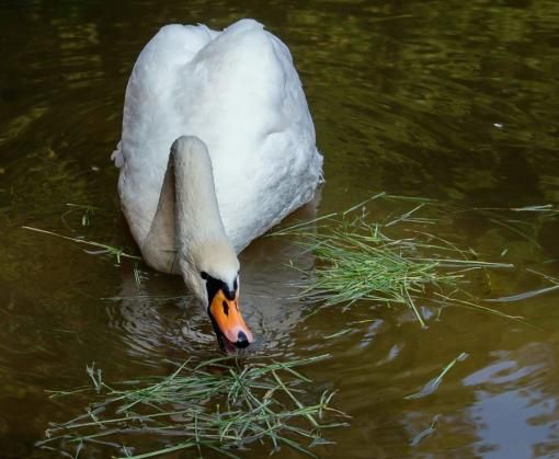 Харьковский зоопарк отправил лебедей и других птиц на летние квартиры: видео