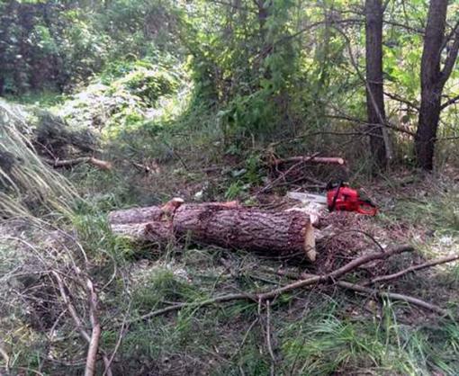 В Харьковской области лесоруб уничтожил два десятка сосен