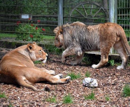 Из немецкого зоопарка сбежали львы, тигры и ягуар