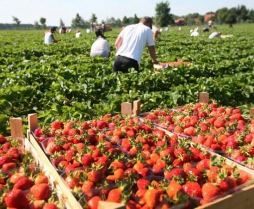В Польше не хватает рабочих рук для сбора клубники