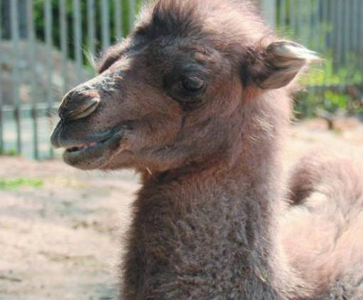 В Харькове объявлен конкурс на лучшее имя для верблюжонка