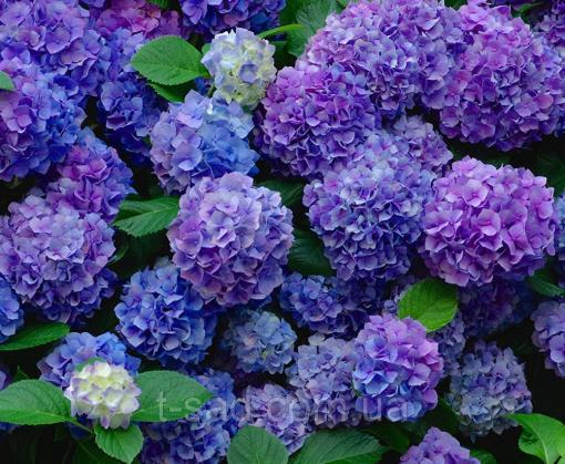 Дачный сезон: какие цветы опасны для здоровья