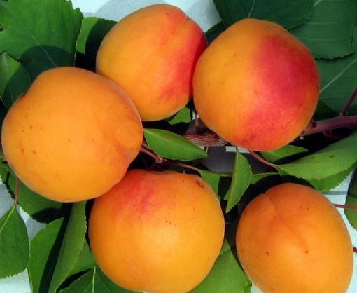 Спелые абрикосы имеют оранжевый цвет
