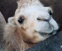 Харьковчане выбрали имя для верблюжонка: видео