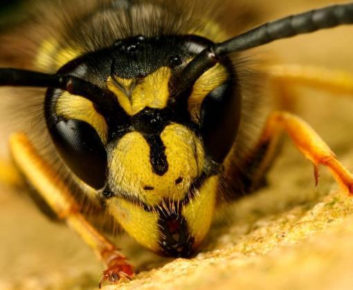 В каких случаях укус осы опасен