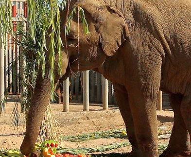В Харьковском зоопарке отпраздновали юбилей слонихи Тенди