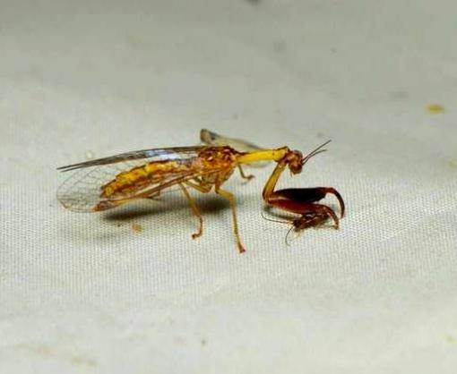 На Харьковщине нашли редкое насекомое
