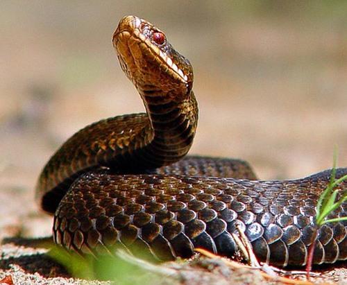 В лесах Харьковщины развелось много ядовитых змей