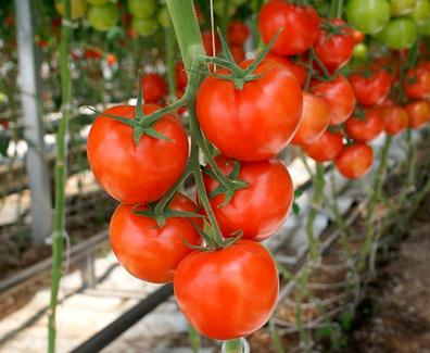 На что обращать внимание при покупке томатов