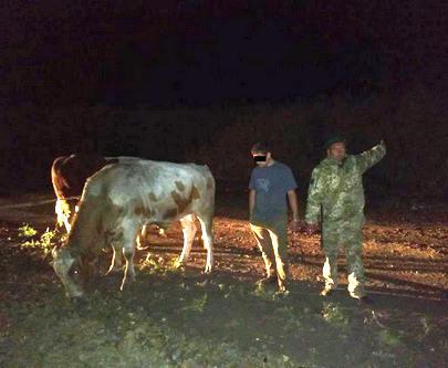 Харьковские пограничники изъяли контрабандных быков