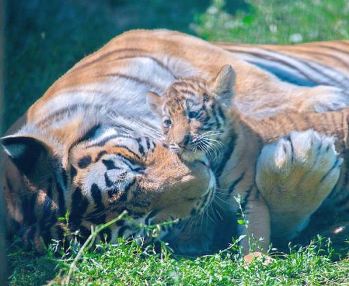 В Фельдман Экопарк родились амурские тигрята